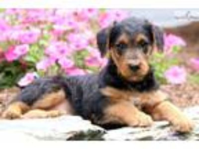 Mindy - Airedale Terrier Female