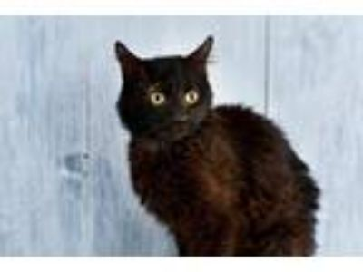 Adopt Kitty Carlisle a Domestic Shorthair / Mixed (short coat) cat in Park City