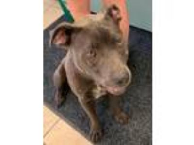 Adopt kasey a Pit Bull Terrier