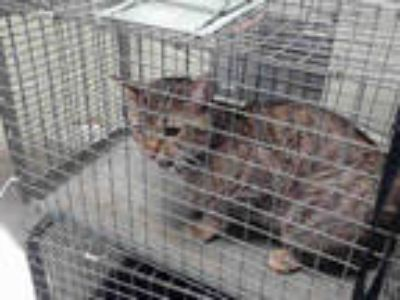 Adopt SHIVERS a Brown Tabby Domestic Shorthair / Mixed (short coat) cat in