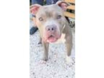 Adopt BRUCE a Tan/Yellow/Fawn - with White Pit Bull Terrier / Mixed dog in