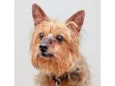 Adopt Hairy Potter a Yorkshire Terrier