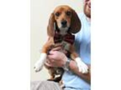 Adopt Clipper a Tricolor (Tan/Brown & Black & White) Beagle / Mixed dog in