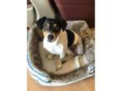 Adopt Charlotte a Tricolor (Tan/Brown & Black & White) Beagle / Jack Russell
