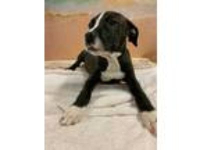 Adopt TORI a Black German Shorthaired Pointer / Mixed dog in Tangent