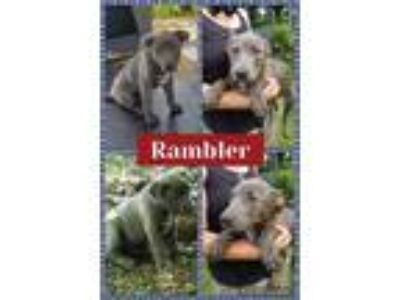 Adopt Rambler a Pit Bull Terrier, German Shepherd Dog