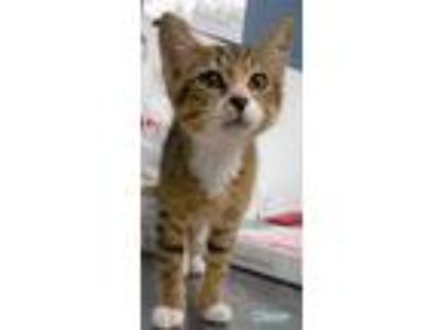 Adopt Dipper a Brown or Chocolate Domestic Shorthair / Domestic Shorthair /