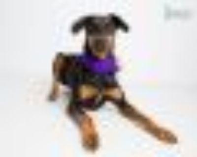 Piper Doberman Pinscher Dog