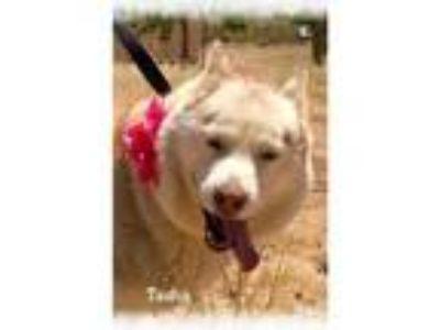Adopt Tasha a Husky
