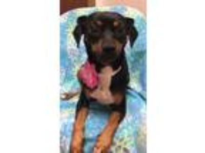 Adopt Rafina a Black - with Tan, Yellow or Fawn Dachshund / Mixed dog in Weston