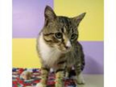 Adopt Henry Hissinger a Brown Tabby Domestic Shorthair (short coat) cat in