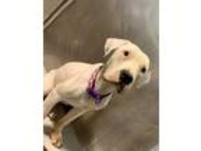 Adopt Decoupage a White American Pit Bull Terrier / Mixed dog in Kansas City