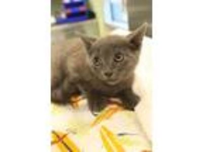Adopt Twist a Gray or Blue Domestic Shorthair / Domestic Shorthair / Mixed cat