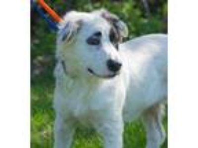 Adopt Lily of the Valley a White Great Pyrenees / Retriever (Unknown Type) /