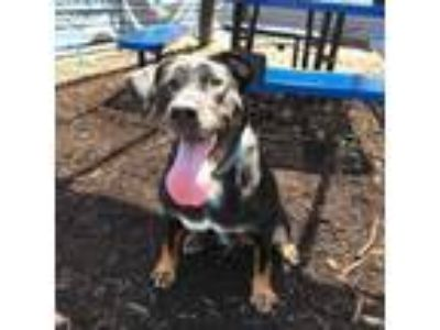 Adopt Cookie a Black Rottweiler / Retriever (Unknown Type) / Mixed dog in