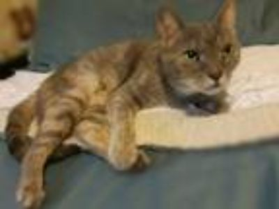 Adopt Lexus bonded with Cooper (Car Litter) a Domestic Short Hair