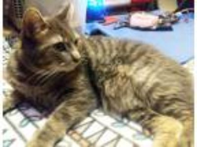 Adopt Bambi a Gray, Blue or Silver Tabby Domestic Shorthair (short coat) cat in