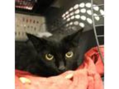 Adopt Kitty Kat a All Black Domestic Shorthair / Domestic Shorthair / Mixed cat