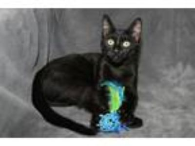 Adopt Lark a Domestic Short Hair