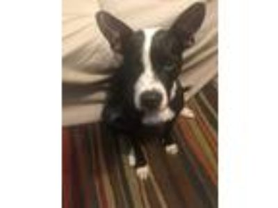 Adopt Shirley a Black - with White Boston Terrier / American Pit Bull Terrier /
