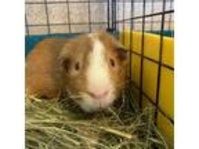 Adopt Jack a Red Guinea Pig (short coat) small animal in Burlingame