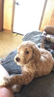 Poodle (Standard) PUPPY FOR SALE ADN-87072 - 10 Beautiful Babies