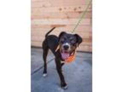 Adopt Peanut Butter - Costa Mesa a Black - with Tan, Yellow or Fawn Labrador