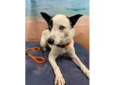 Adopt SWEET DIXIE a White Border Collie / Mixed dog in Tangent, OR (26202324)