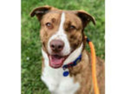 Adopt PIERCE a Brown/Chocolate - with White Labrador Retriever / American Pit