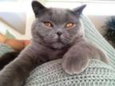 Adopt Lola a British Shorthair, Russian Blue