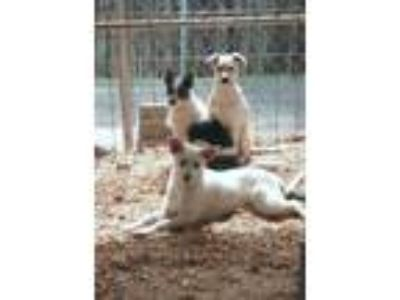 Adopt Puppies a Parson Russell Terrier