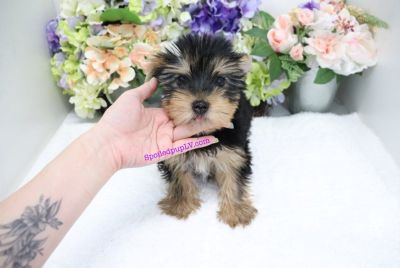 Yorkshire Terrier - Melon - Male