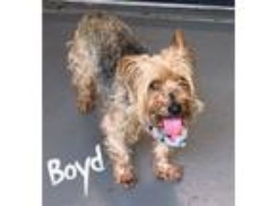 Adopt Boyd a Yorkshire Terrier
