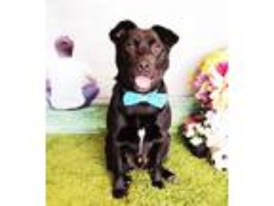 Adopt Hector a Black Labrador Retriever / Mixed dog in Castro Valley