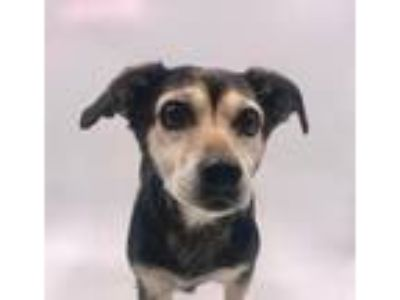 Adopt Bev a Terrier (Unknown Type, Small) / Mixed dog in Thousand Oaks