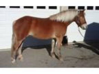 Willow 5 year old 15hh Belgian DraftQuarter Horse mare