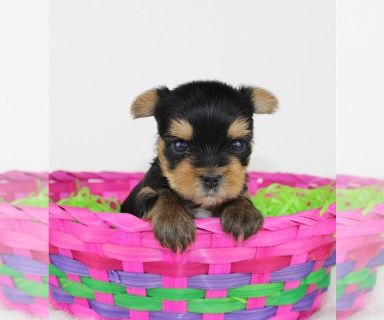 Yorkshire Terrier PUPPY FOR SALE ADN-127513 - AKC Yorkshire Terrier