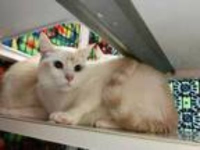 Adopt Donald a Cream or Ivory Siamese / Domestic Shorthair / Mixed cat in