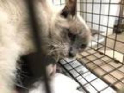Adopt Erindale a Tan or Fawn Siamese / Domestic Shorthair / Mixed cat in