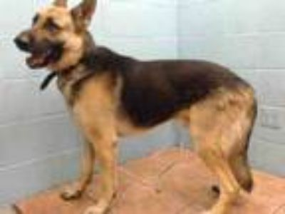 Adopt KEISER a German Shepherd Dog