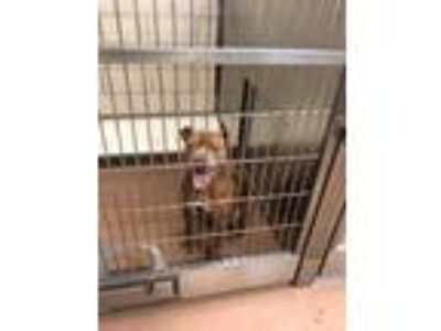 Adopt 42043626 a Brown/Chocolate American Pit Bull Terrier / Mixed dog in