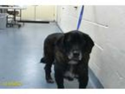 Adopt K.C a Brown/Chocolate - with Tan Basset Hound / Mixed dog in West Palm
