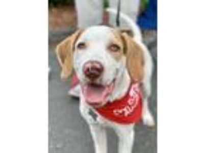 Adopt Lucky a Pointer, Hound
