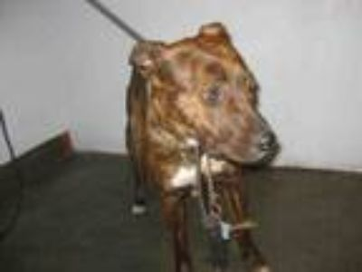 Adopt FREDDIE a Mixed Breed, Staffordshire Bull Terrier