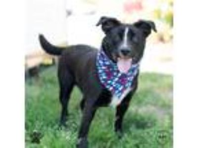 Adopt Badger a Beagle / Border Collie / Mixed dog in Richmond, VA (25339460)