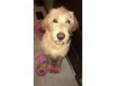 Adopt Ozzie a Tan/Yellow/Fawn Labrador Retriever / Poodle (Standard) / Mixed dog