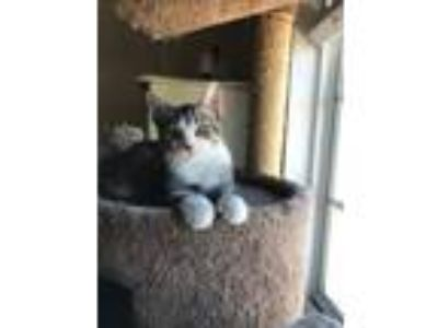 Adopt Indy a Brown Tabby Domestic Shorthair / Mixed (short coat) cat in