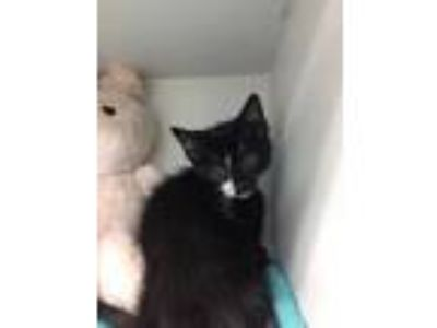 Adopt Lance a All Black Domestic Shorthair / Domestic Shorthair / Mixed cat in