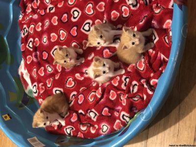 Free orange and white kittens