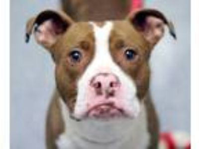 Adopt Pinafore a American Staffordshire Terrier, Pit Bull Terrier